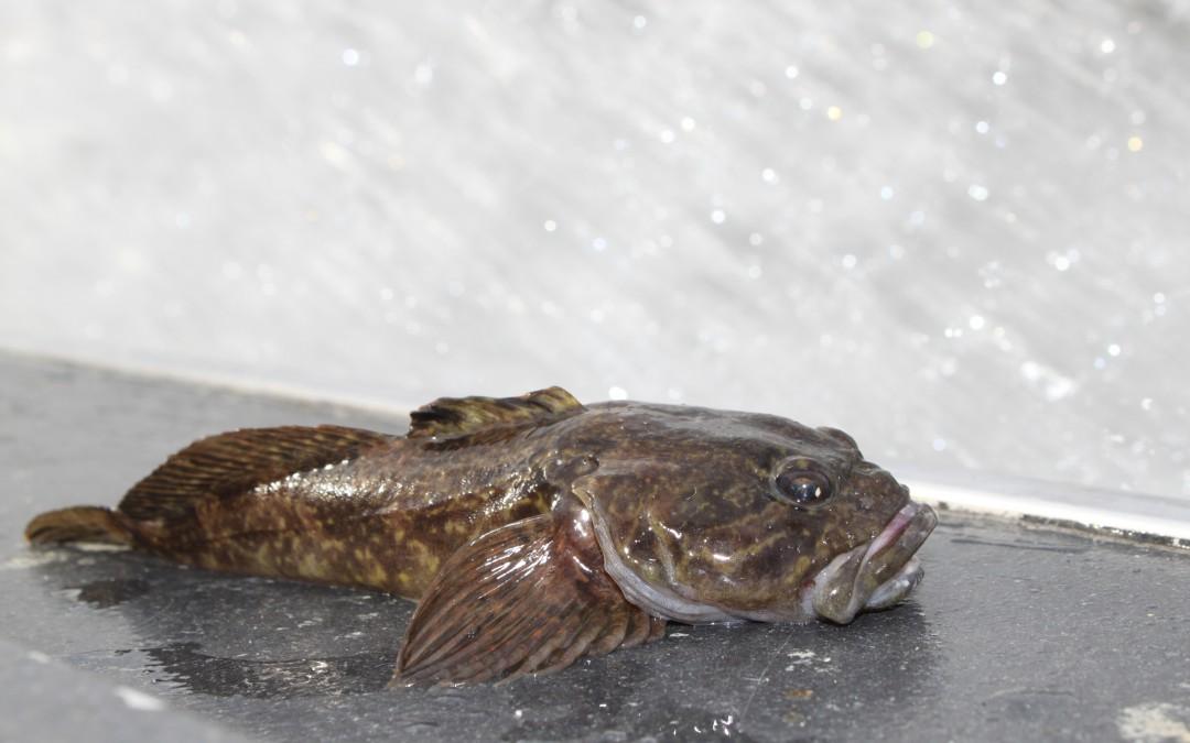Fisketips/flugbindning