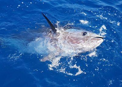 Blåfenad tonfisk 300kg+